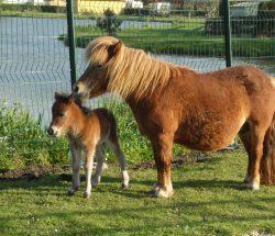 Campsite with mini farm: ponies