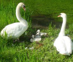 Swans campsite marqueval